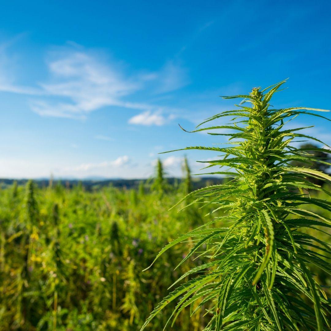 Con la participación de Kulfas, se larga en el Senado el debate sobre el marco regulatorio del cannabis