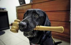La perra labradora que es asistente judicial